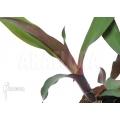 Bromeliad 'Canistropsis burchellii'