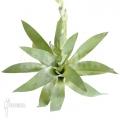 Bromeliad 'Catopsis berteroniana'