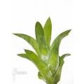 Bromeliad 'Catopsis berteroniana' 'Starter'