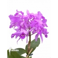 Orchid 'Cattleya skinneri'