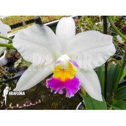 Cattleya x White flower