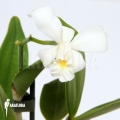 Orchid 'Cattleya x Blondy'