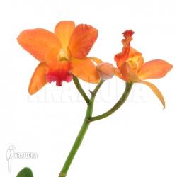 Cattleya x 'Orange flower'