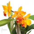 Orchid 'Cattleya 'orange passion''