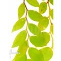 Cavendishia nitens