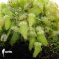 Australian pitcherplant 'Cephalotus follicularis (M)'