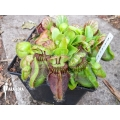 Australian pitcherplant 'Cephalotus follicularis  'Dudley Watts'