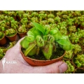Australian pitcherplant 'Cephalotus follicularis' 'XL'