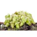 Australian pitcherplant 'Cephalotus follicularis' 'Starter'