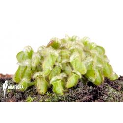 Cephalotus follicularis starter