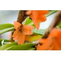 Orchid 'Ceratostylis retisquama' starter