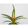 Orchid 'Ceratostylis retisquama 'Rubra' starter