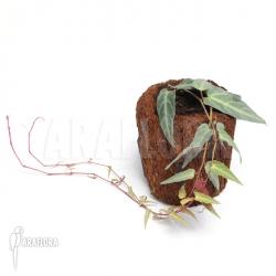 Cissus amazonica 'M'