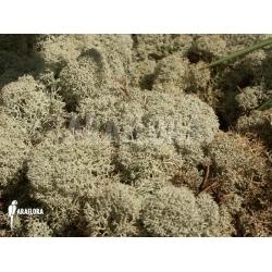 Cladonia evansii (deer moss)