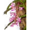 Orchid 'Cleisostoma arietinum'