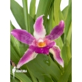Orchid 'Cochleanthes COC05'