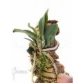 Orchid 'Cochleanthes violacea'