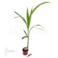 Coconut palm 'Cocos nucifera'