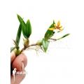 Orchid 'Coelogyne lentiginosa x monilirachis'