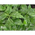 Coffee plant 'Coffea arabica' (M)
