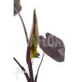 Colocasia esculenta 'Aloha'