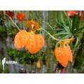 Orchid 'Comparettia speciosa'
