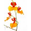 Orchid 'Comparettia speciosa x Oncidium zappii'
