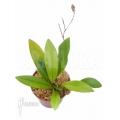 Orchid 'Condylago rodrigoi'
