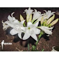 Crinum macowanii natural habitat