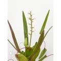 Croton x bell flower