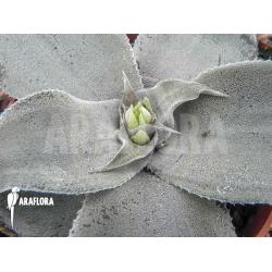 Cryptanthus argyrophyllus