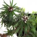 Bromeliad 'Cryptanthus microglaziovii' starter