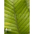 Cryspinus trifoliatus 'Sumatra'