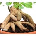 Cussonia spicata 'Cabbage tree'