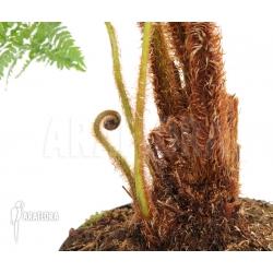 Cyathea brownii