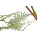 Tree fern 'Cyathea dealbata'