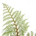 Tree fern 'Cyathea tomentosissima' (S)