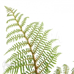 Cyathea tomentosissima (S)