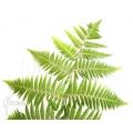 Tree fern 'Cyclosorus acuminata' (treefern)