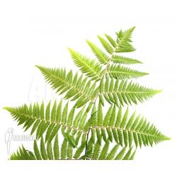Cyclosorus acuminata (treefern)