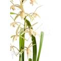 Orchid 'Cymbidium sinense 'Lan Kiem''