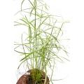 Cyperus involucratus 'Nana'