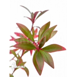 Cyrilla racemiflora Churi Tepui