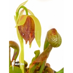 Darlingtonia californica 'L'