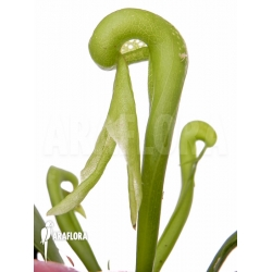 Darlingtonia californica Long Fang
