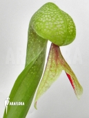 Darlingtonia (Cobra lily)