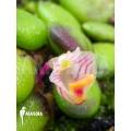 Orchid 'Dendrobium lichenastrum' 'A'
