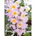 Orchid 'Dendrobium amabile'