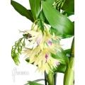Orchid 'Dendrobium amethystoglossum'