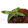 Orchid 'Dendrobium anosmum'